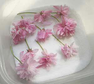 桜の塩漬けにチャレンジ