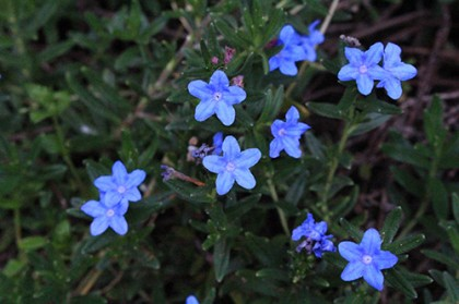 ちっちゃい青い花