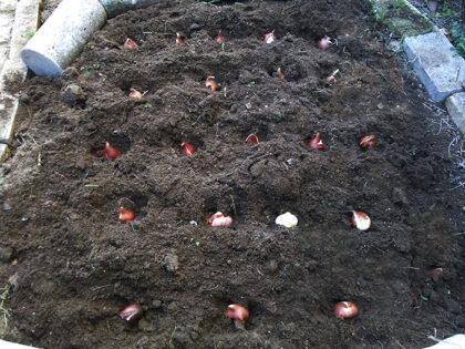 チューリップ球根植えました!