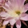 王冠竜の花