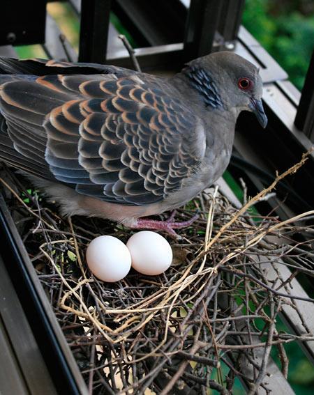 窓辺に巣を作って卵を産んだキジバト