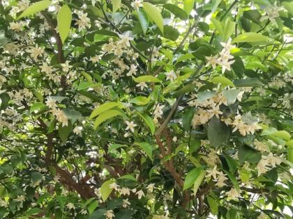 たくさん咲いた柚子の花
